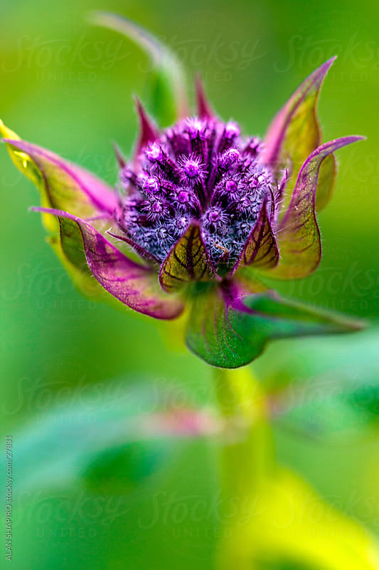 bee balm up close by ALAN SHAPIRO for Stocksy United