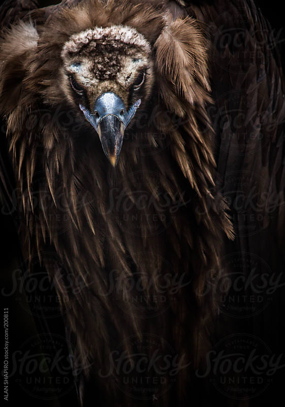 cinereous vulture in studio by ALAN SHAPIRO for Stocksy United