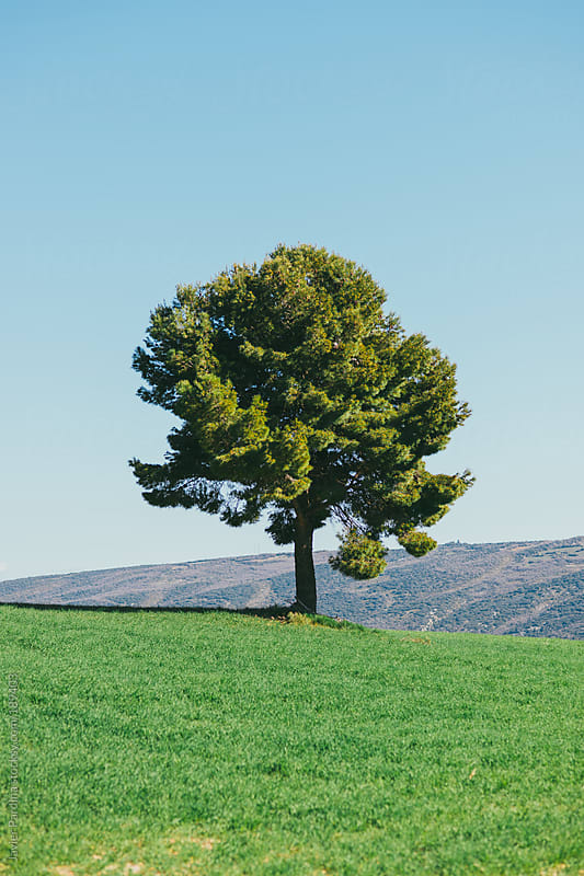 lonely tree on the grass by Javier Pardina for Stocksy United