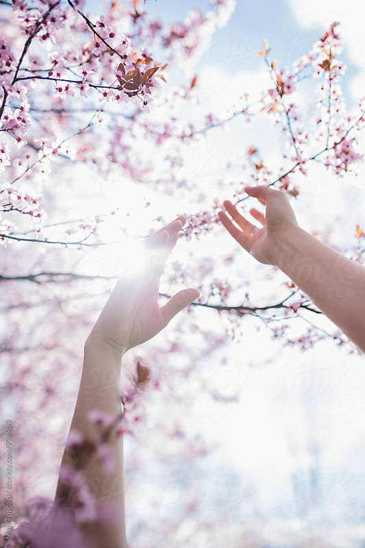 Hands in cherry blossom by Maja Topcagic for Stocksy United