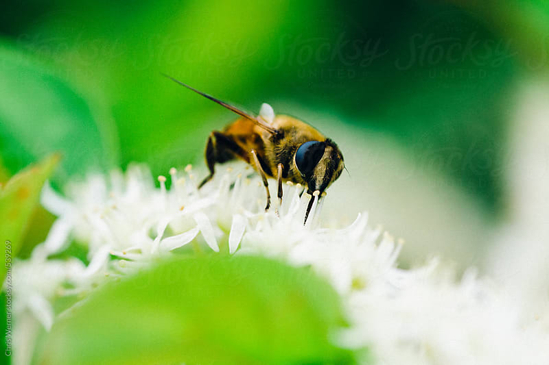 Bee macro photo by Chris Werner for Stocksy United