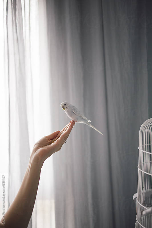 a little blue budgie on the hands by Javier Pardina for Stocksy United