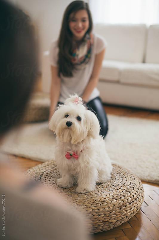 Cute Maltese Dog by Lumina for Stocksy United