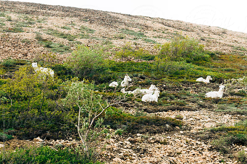Mountain Goats by Luke Mattson for Stocksy United