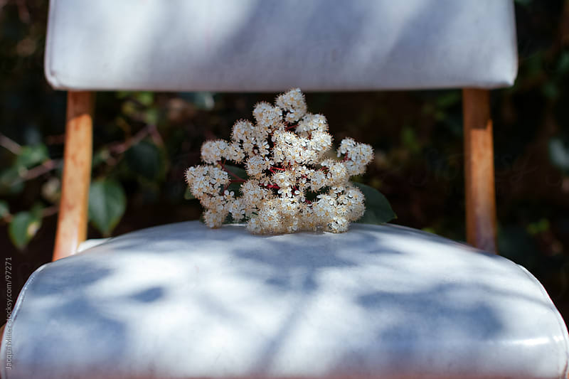 A sprig of tiny white flowers by Jacqui Miller for Stocksy United