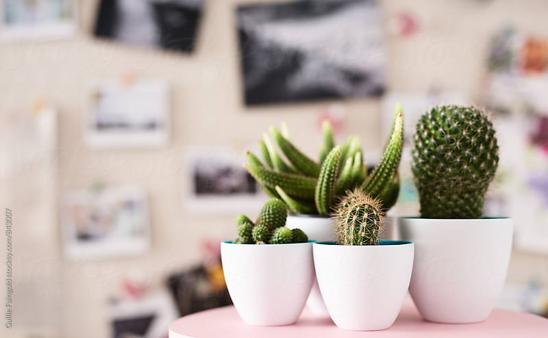 Several cactus in white ceramic pots on table by Guille Faingold for Stocksy United