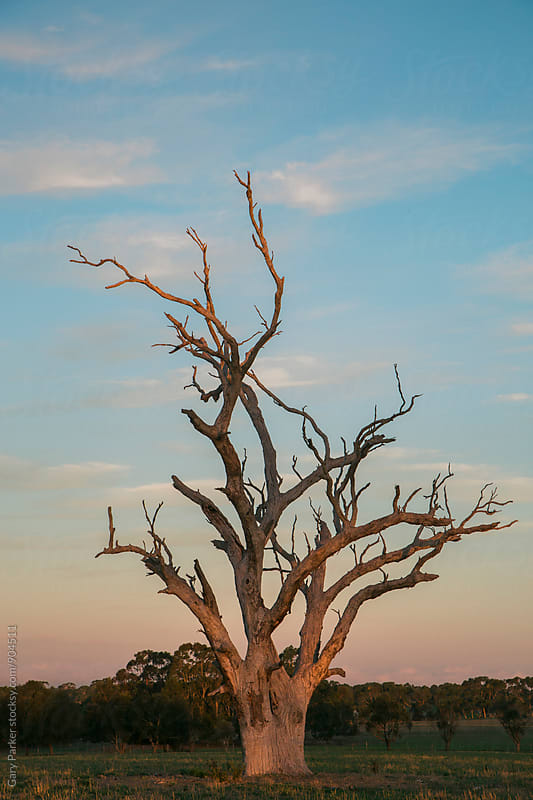 A dead Australian gum tree lit up by the afternoon sun by Gary Parker for Stocksy United