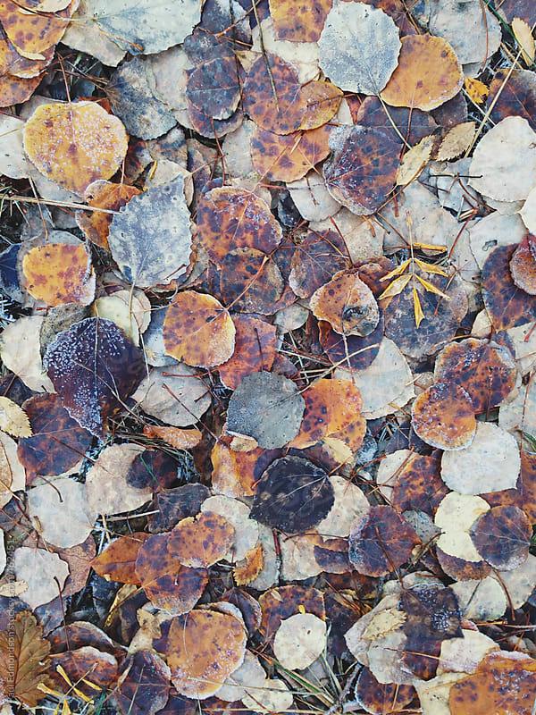 Frost covered aspen leaves in autumn by Paul Edmondson for Stocksy United