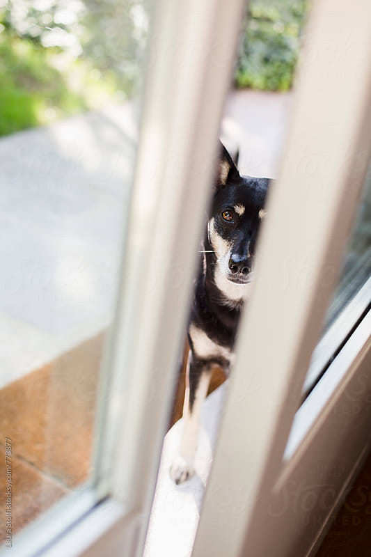 Dog standing in garden looks straight at the camera through open glass door by Laura Stolfi for Stocksy United