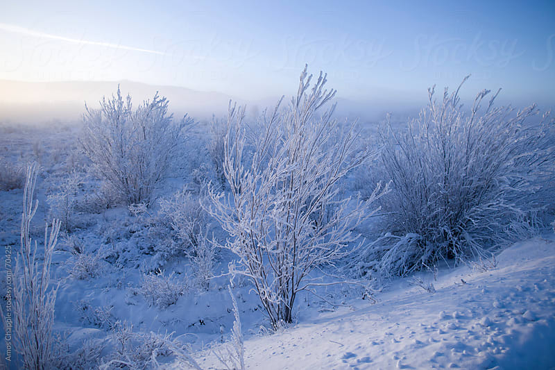 Frost-covered shrubs on a clear winter morning in Siberia.  by Amos Chapple for Stocksy United