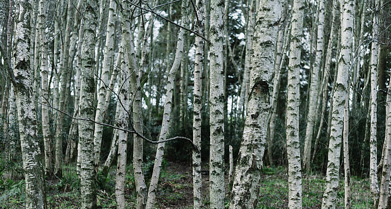 Birch forest. by Darren Muir for Stocksy United