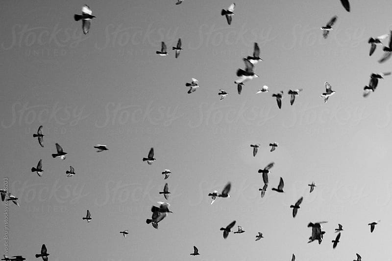 A balck and white image of flock of birds flying in the afternoon sky by Ivo de Bruijn for Stocksy United