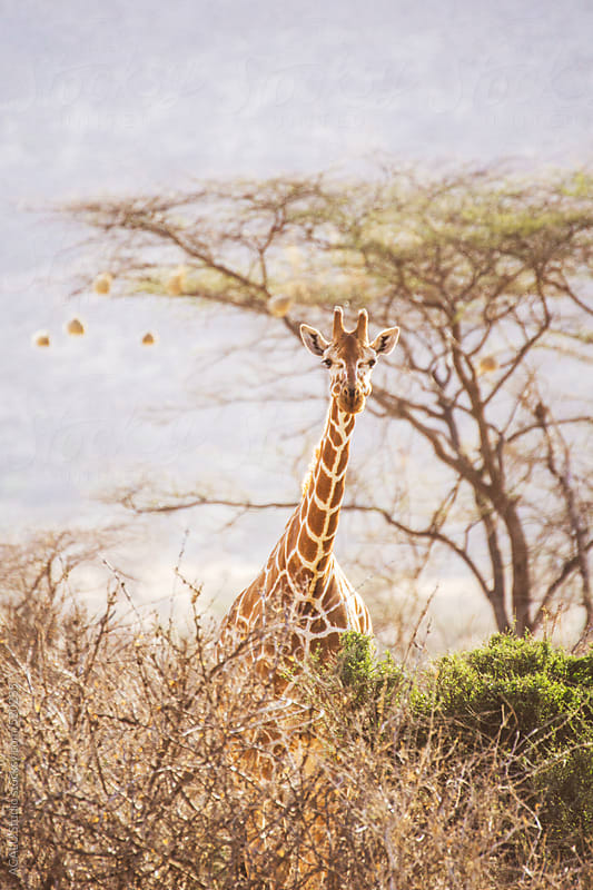 Reticulated giraffe in Africa by ACALU Studio for Stocksy United