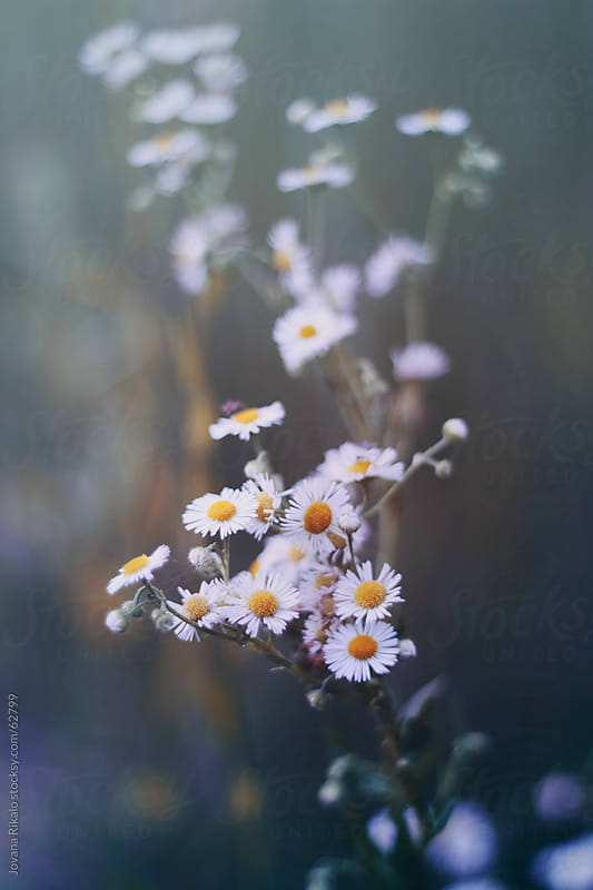 Wild daisy flowers by Jovana Rikalo for Stocksy United