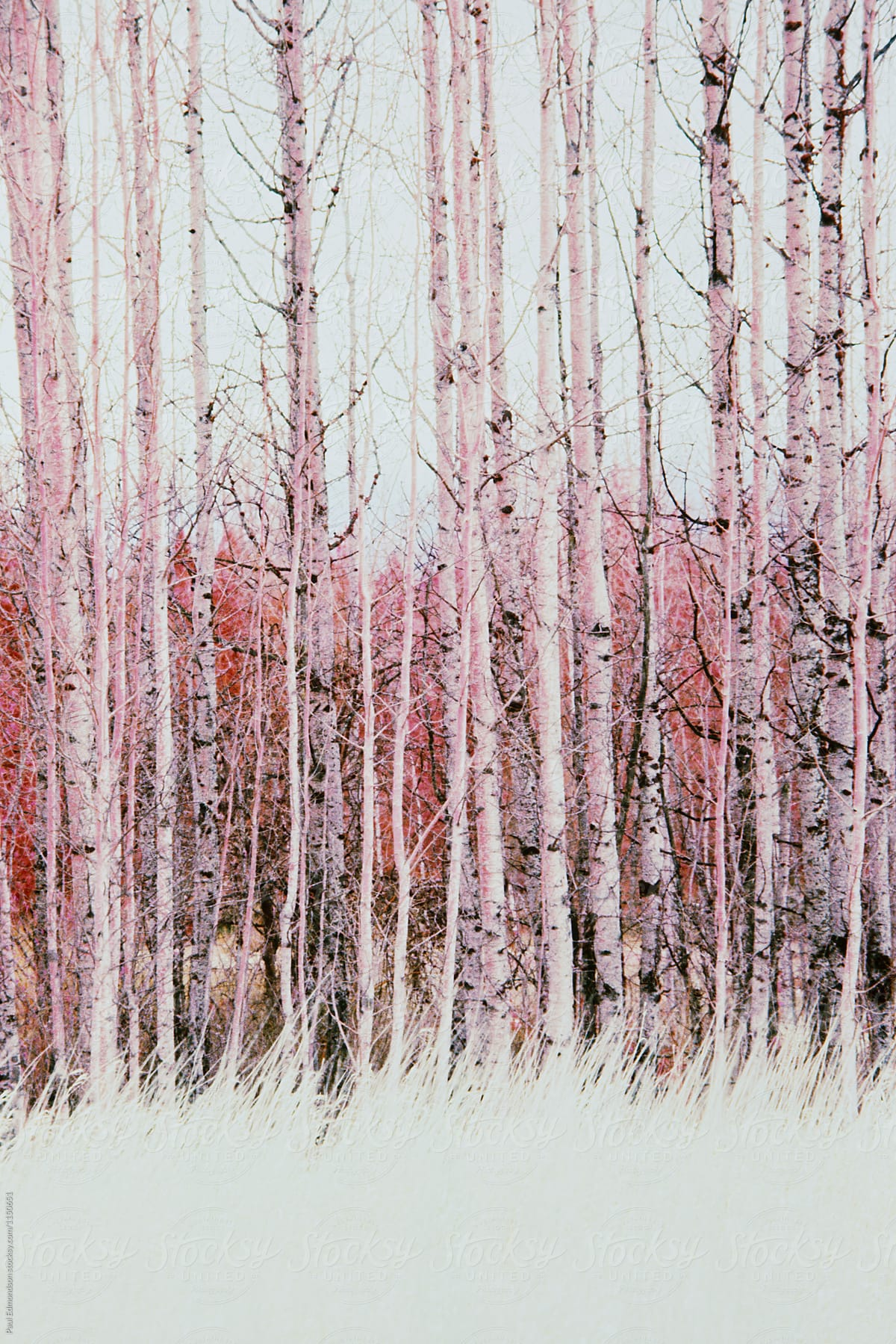 Color infrared image of quaking aspen trees and meadow by Rialto Images for  Stocksy United
