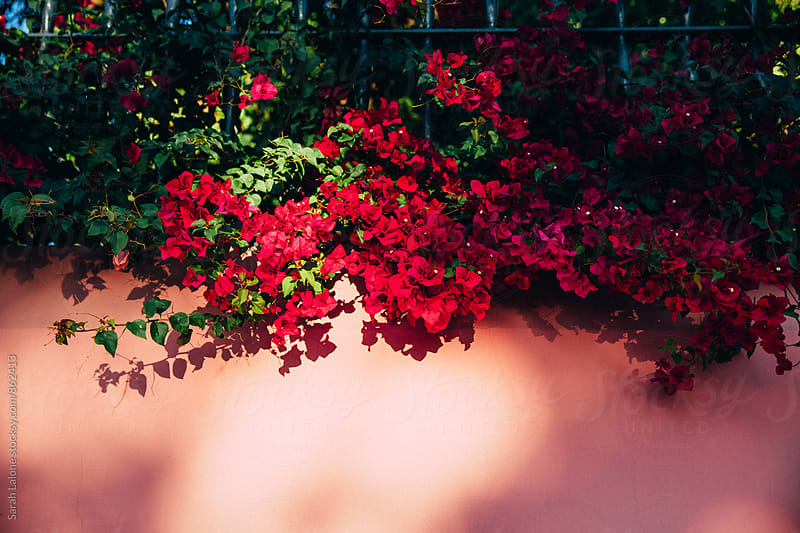 red bougainvillea on a wall in spain by Sarah Lalone for Stocksy United