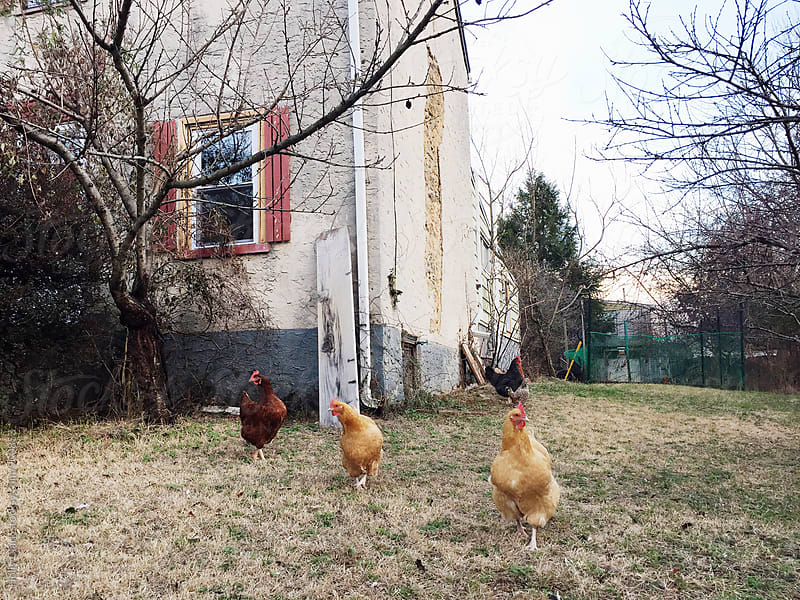 Urban Chickens in Winter by Holly Clark for Stocksy United