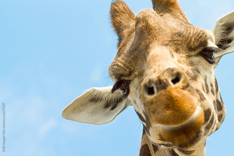 A headshot of a curious giraffe by Kelli Seeger Kim for Stocksy United
