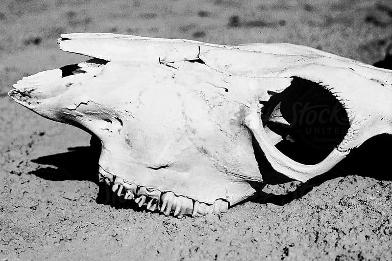 Animal Skull on Sand by Eldad Carin for Stocksy United