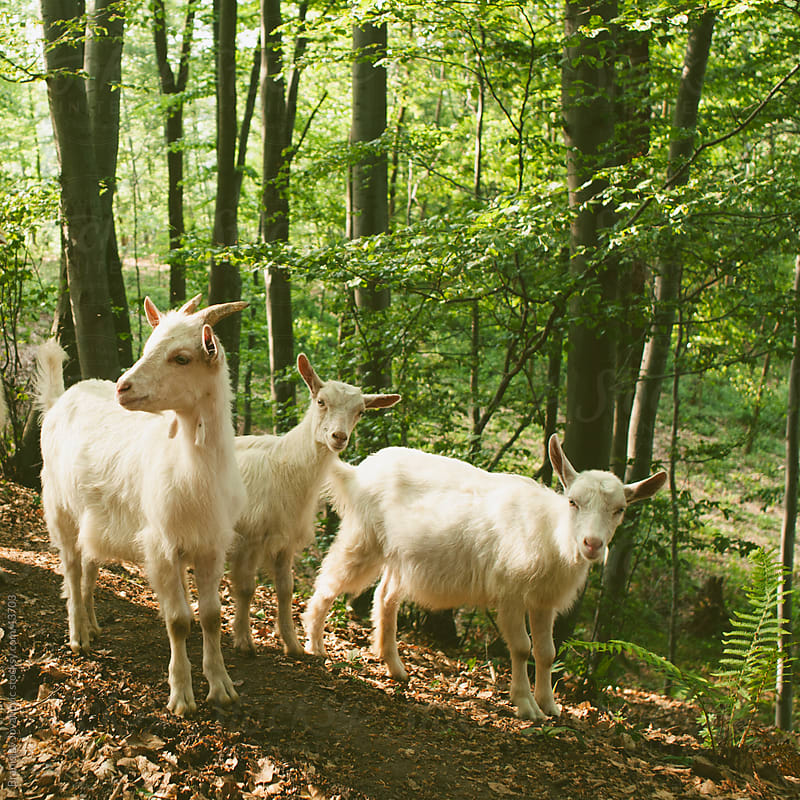 Goats in a forest by Branislav Jovanović for Stocksy United