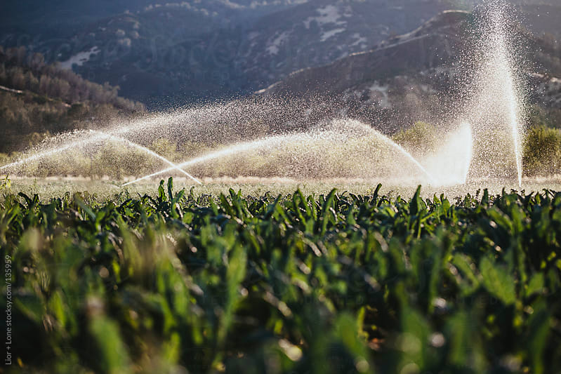 Irrigation of organic kale field by Lior + Lone for Stocksy United