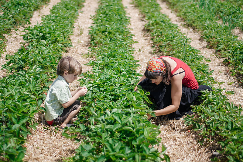 Boy and his mom pick fresh strawberries together in a field by Cara Dolan for Stocksy United