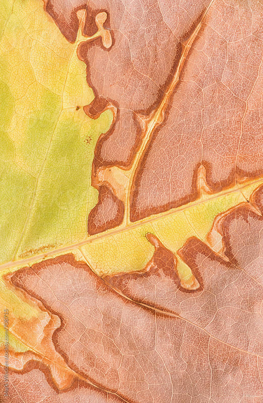 Drought affected leaf, closeup by Mark Windom for Stocksy United