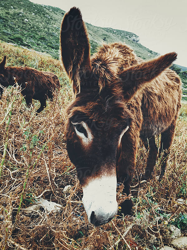 Two Donkeys in Sicilian Island Countryside by Julien L. Balmer for Stocksy United