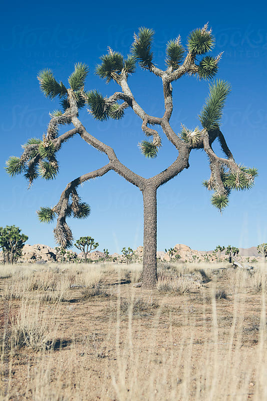 Joshua Tree National Park, CA, USA by Paul Edmondson for Stocksy United