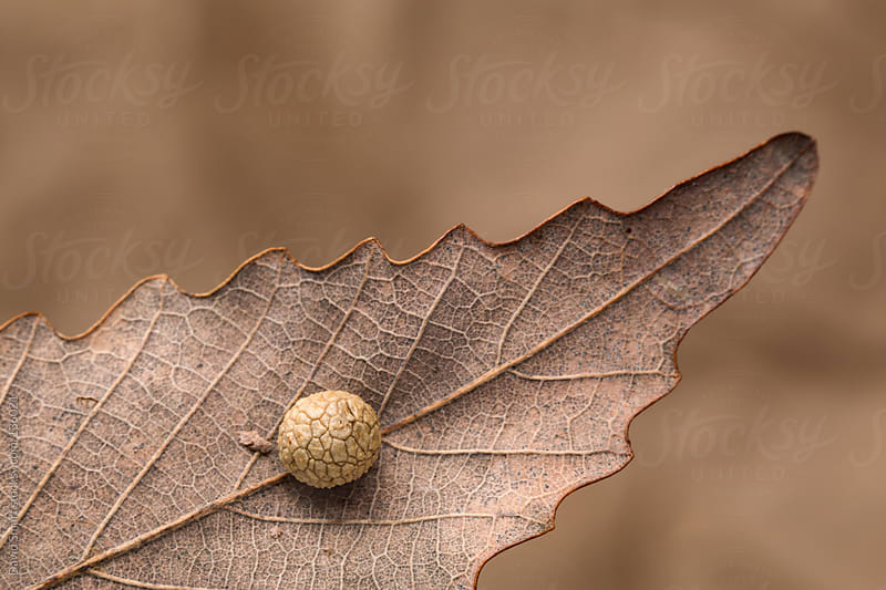 Chestnut Oak leaf with an insect gall on the underside by David Smart for Stocksy United