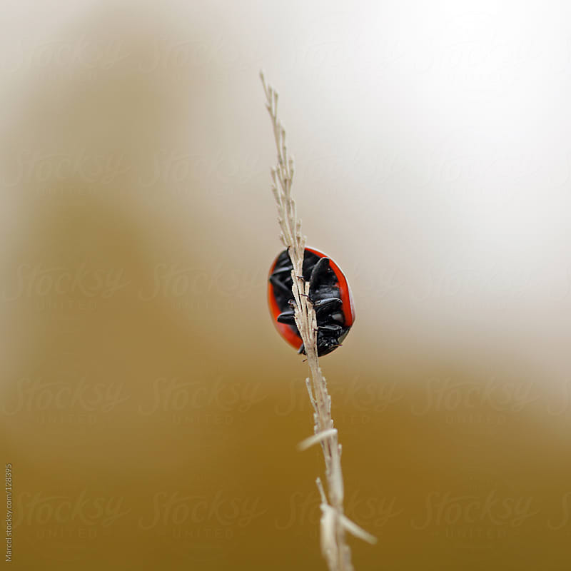 Ladybird on a grass stalk by Marcel for Stocksy United