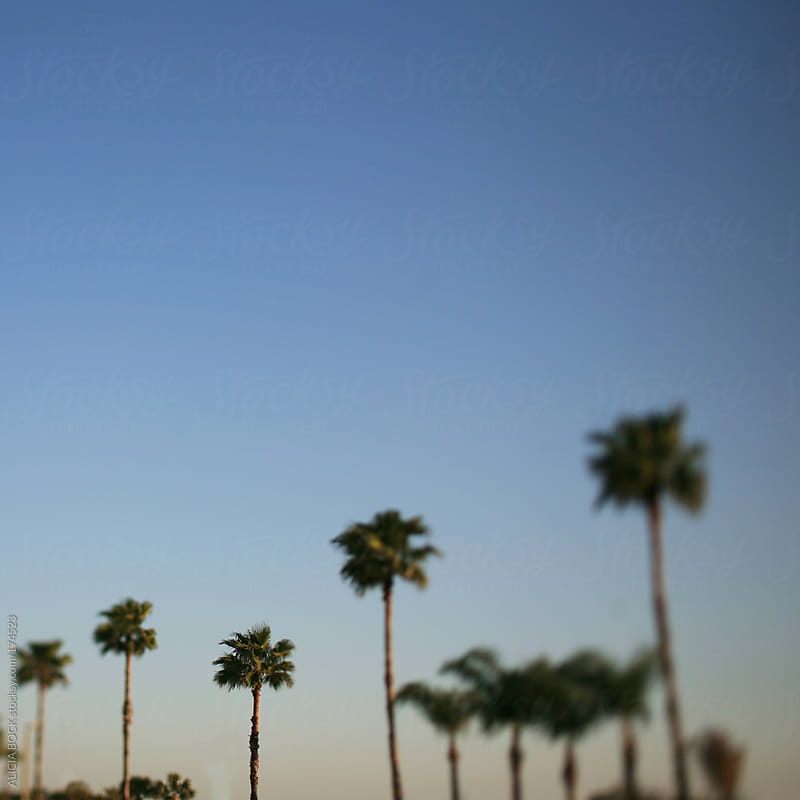 Tall Florida Palm Trees Against A Bright Blue Sky by ALICIA BOCK for Stocksy United