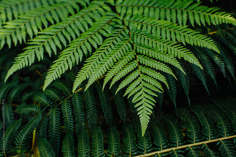 New Zealand fern by Cameron Zegers for Stocksy United
