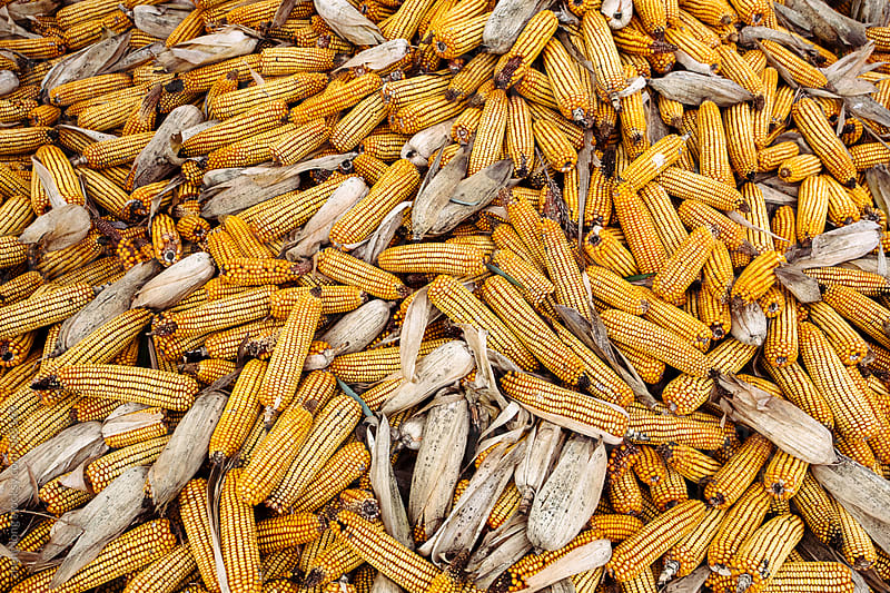 Corn pile outdoor by zheng long for Stocksy United