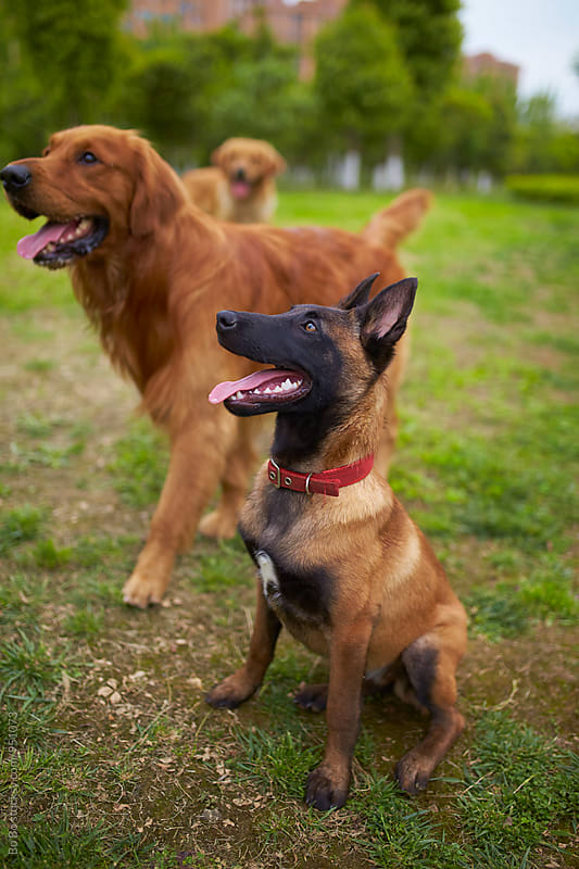 Malinois and golden retriever outdoor by Bo Bo for Stocksy United