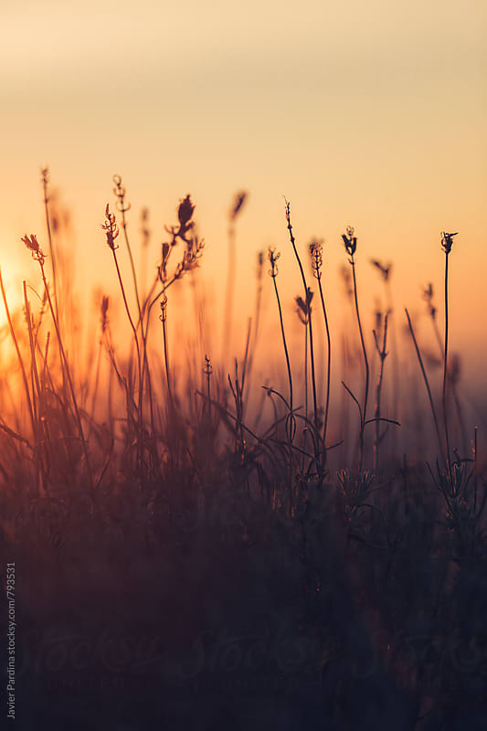 dried plants at sunset by Javier Pardina for Stocksy United