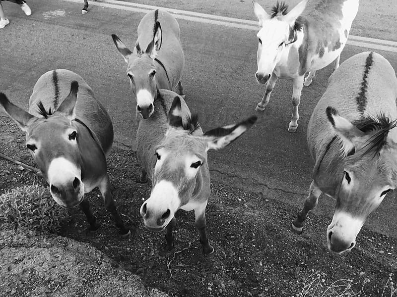Visiting Roadside Burros on Route 66 by Kevin Russ for Stocksy United
