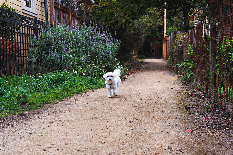 A little white dog walks down a gravel pathway lined with gardens. by Holly Clark for Stocksy United