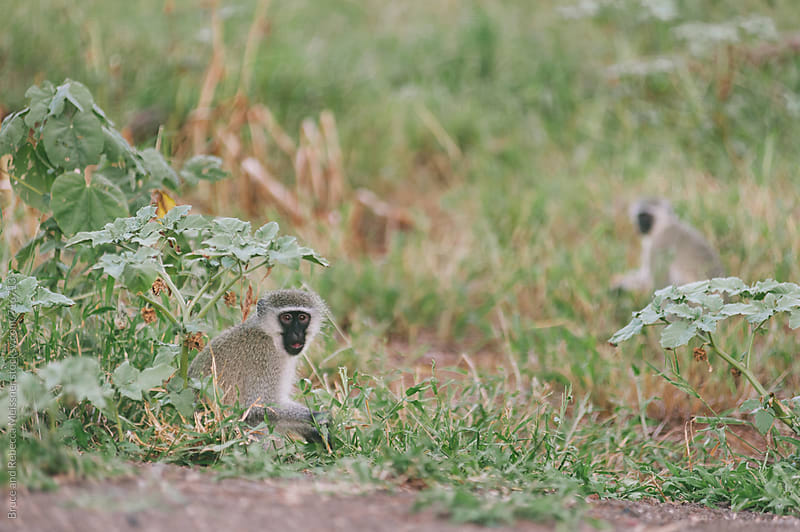 Vervet Monkeys by Bruce and Rebecca Meissner for Stocksy United