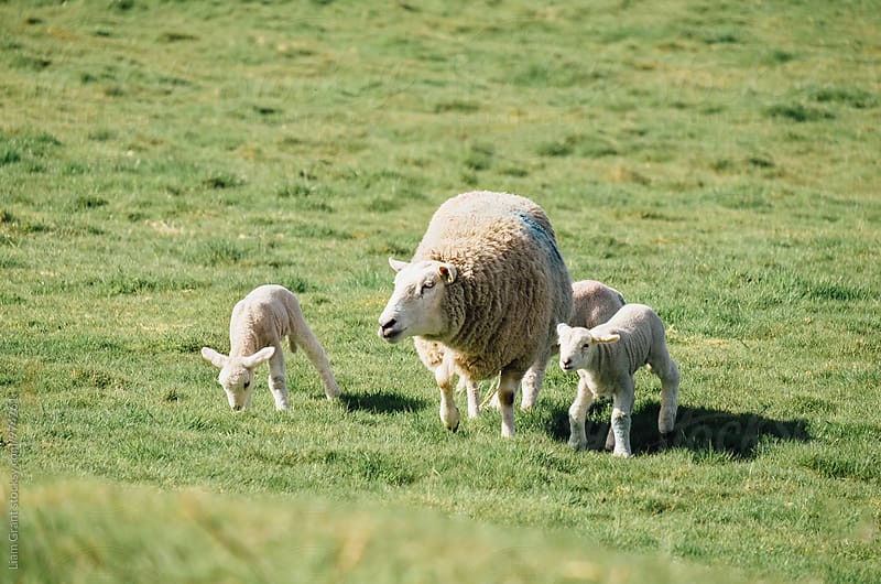 Newborn lambs and sheep in a field in spring. Norfolk, UK. by Liam Grant for Stocksy United