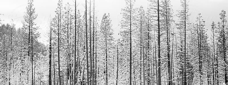 Panorama or trees in the snow. by Lucas Saugen for Stocksy United