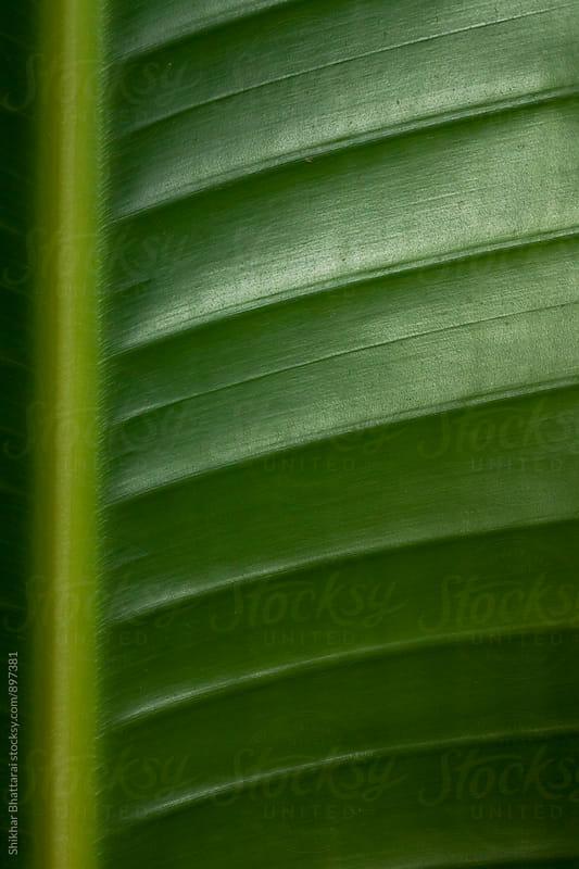 Background of a banana leaf. by Shikhar Bhattarai for Stocksy United