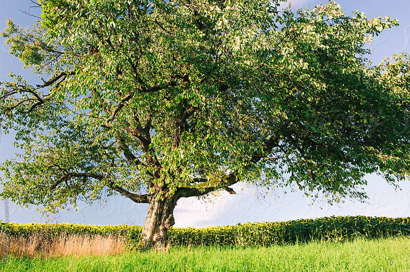 Rural scenery with trees on green meadow in summer by Peter Wey for Stocksy United