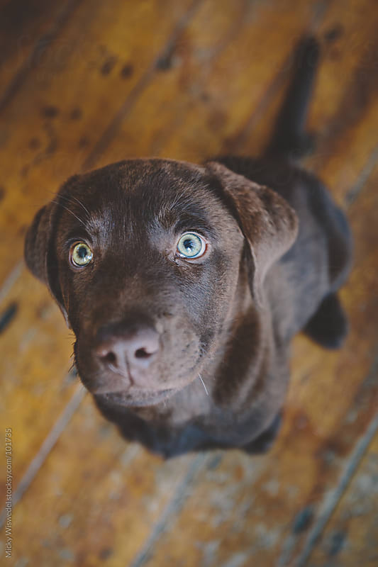 Chocolate brown labrador puppy by Micky Wiswedel for Stocksy United