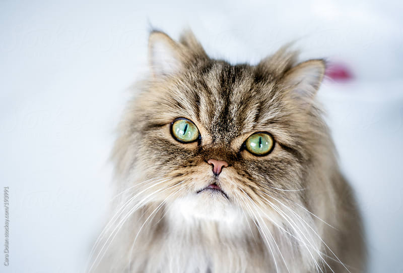 Persian cat looks up at camera with big green eyes by Cara Dolan for Stocksy United