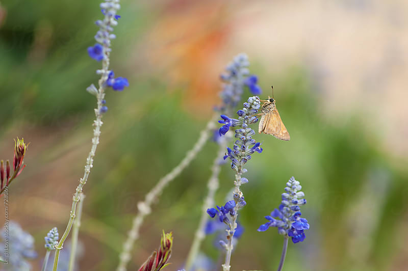 Moth On A Blue Salvia Plant by Leigh Love for Stocksy United