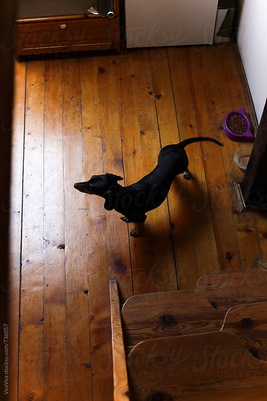 Small dog standing on the floor. From above by Marija Mandic for Stocksy United