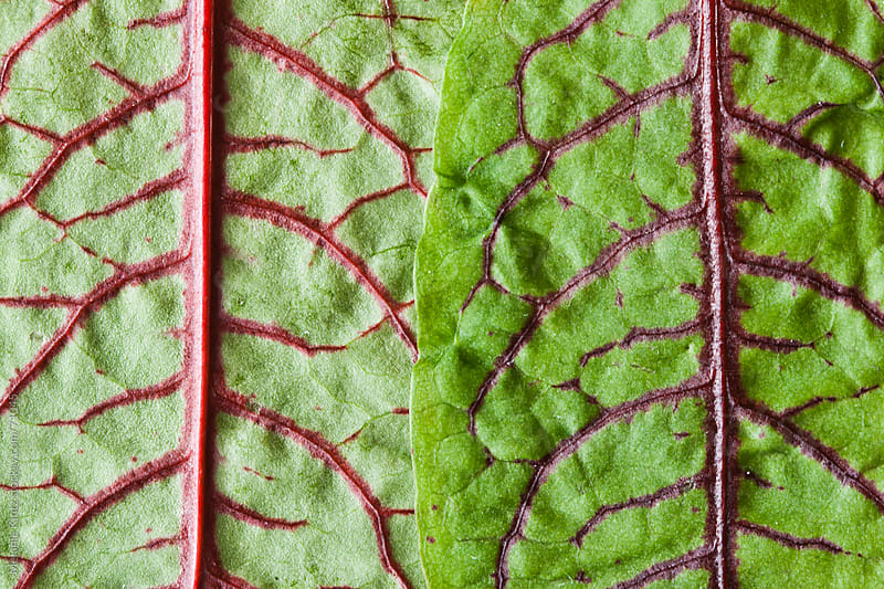 two leaves of  red veined dock next to one another by Melanie Kintz for Stocksy United