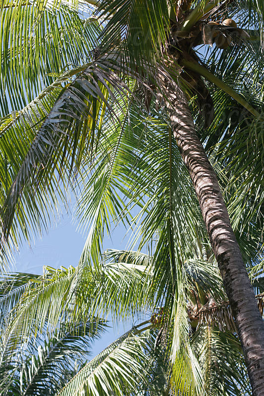 Palmtrees in the tropics by MELCHIOR / PHOTOGRAPHER for Stocksy United