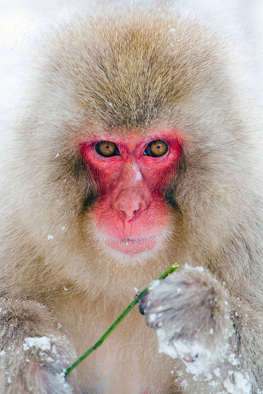Young Japanese macaque (Macaca fuscata) / Snow monkey, Joshin-etsu National Park, Honshu, Japan by Gavin Hellier for Stocksy United